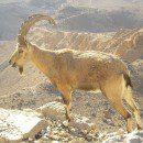 Bibliai állatok a jeruzsálemi állatkertben