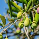 Bibliai kerti séta 2 – Mi mindenre jó az olajfa?